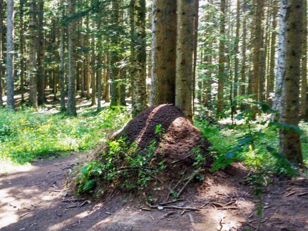 formicaio nel bosco ad abetone