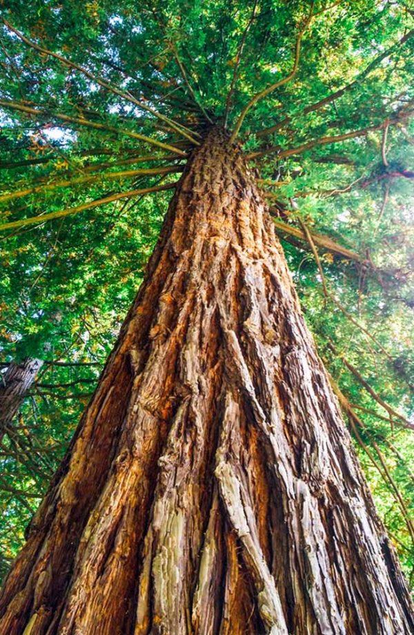 fanano tronco di sequoia gigante e rami con foglie verdi