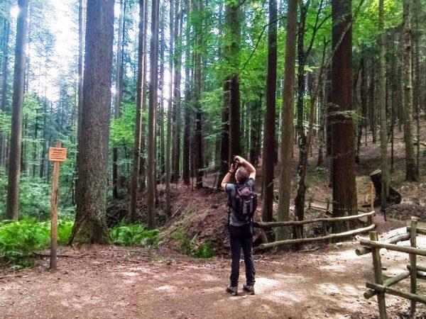 persona che fa foto agli alberi più alti d'italia nel bosco a vallombrosa