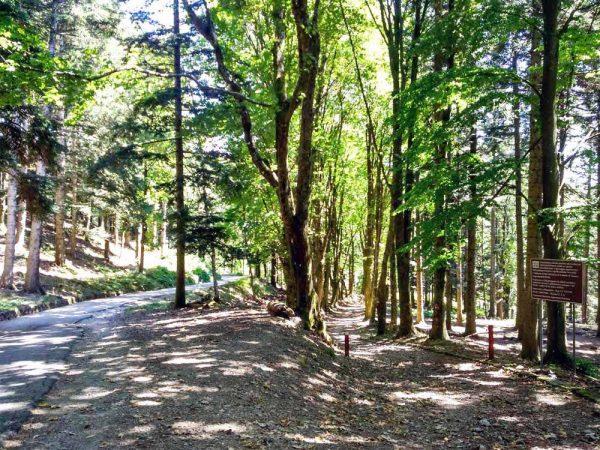 antica via altomedievale parallela alla strada asfaltata nel bosco di acquerino